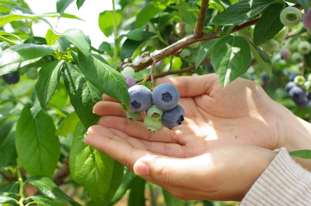 白いブルームで覆われているのは、木が元気でよい実になっている証拠。一粒一粒が宝石のように大切に育てられます。